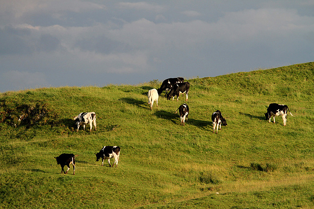 Cattle on Lady Hill