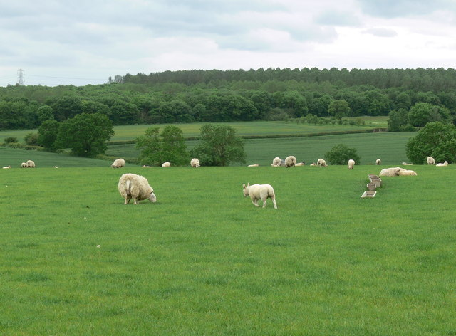 Grazing sheep near Ashby Pastures Farm
