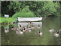 TQ0665 : Canadian Geese by the River Thames by Oast House Archive