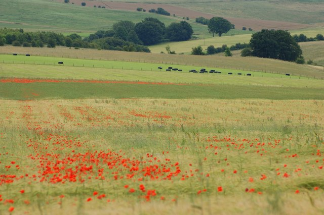 Poppies adding colour to ripening barley