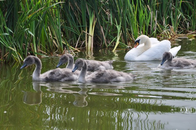 Tiverton : Grand Western Canal - Swan & Cygnets