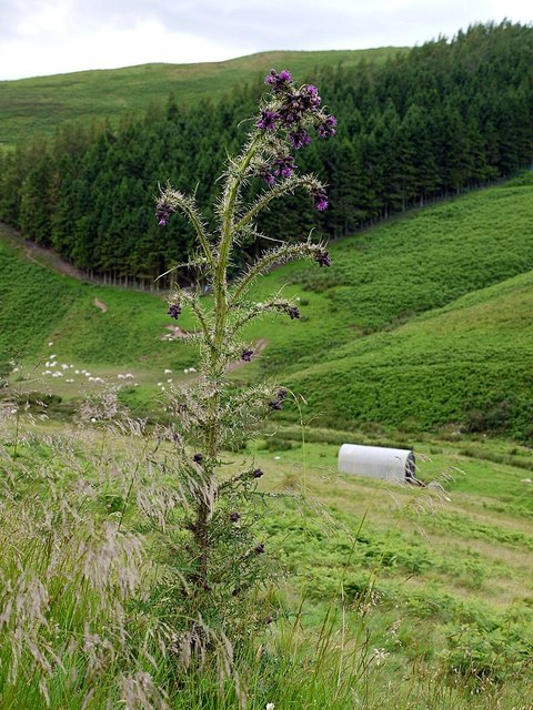 Tall thistle above Sourhope Burn