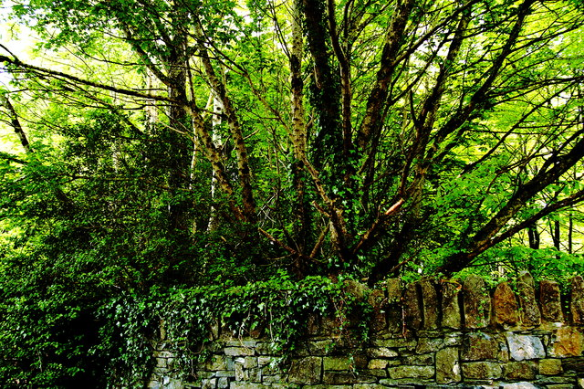 Bunratty Park - Wall, Vines, Trees SE of Site #12B