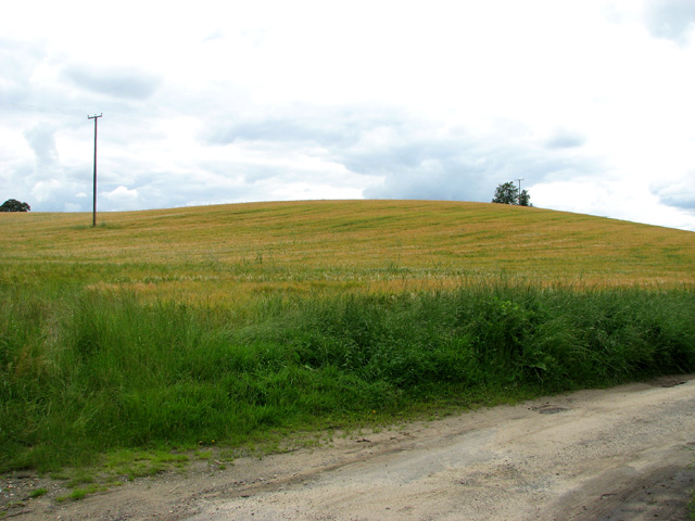 Ripening barley by Pearman's Hill