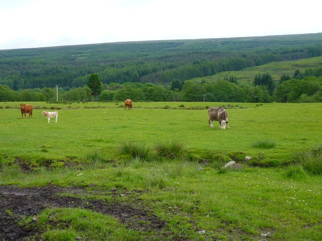 Cattle in a boggy field