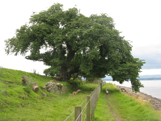 Elm tree at Blackness