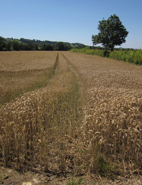 Wheat, Whitelake valley