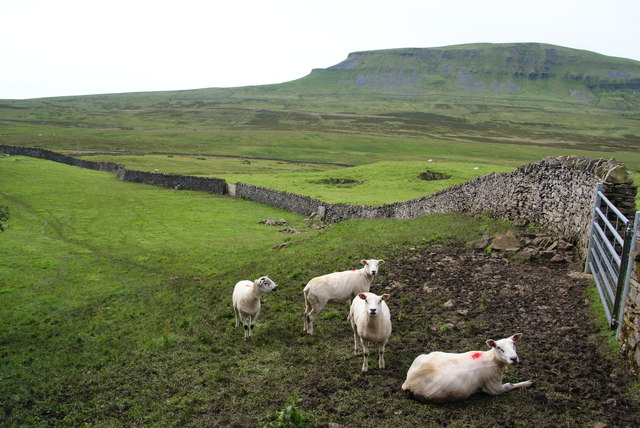 Sheep near Rainscar Farm