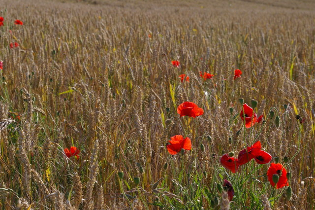 Poppies and wheat, south of Shire Lane, Farnborough
