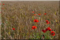 TQ4363 : Poppies and wheat, south of Shire Lane, Farnborough by Christopher Hilton