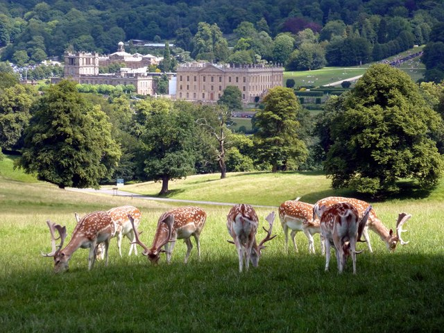 Fallow deer in Chatsworth Park