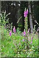 SK1687 : Foxgloves in Woodlands Valley by Neil Theasby