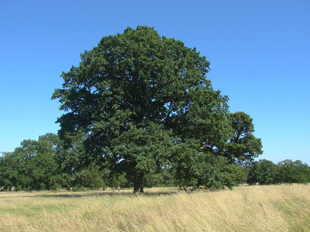 King Edwards coronation oak