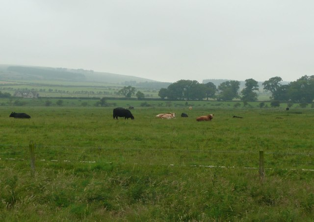 Cattle in pasture near Ingram