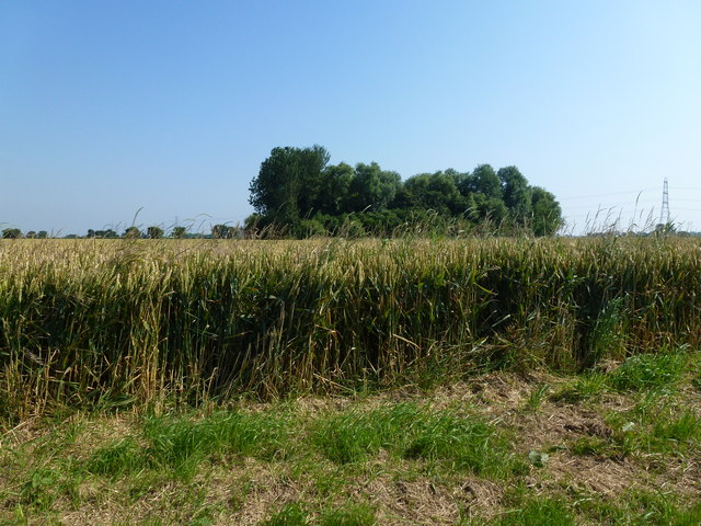 Copse in a wheat field, Woodhouse Lane
