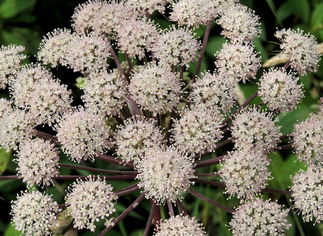 Common hogweed, Belfast