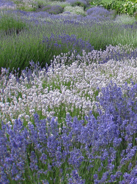 Lavender species