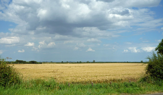 Ripening Wheat near Thornton Curtis