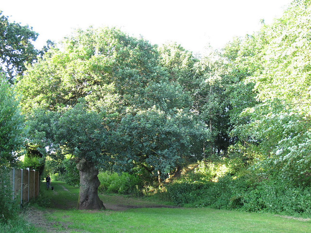 Old oak behind the Parkhouse estate