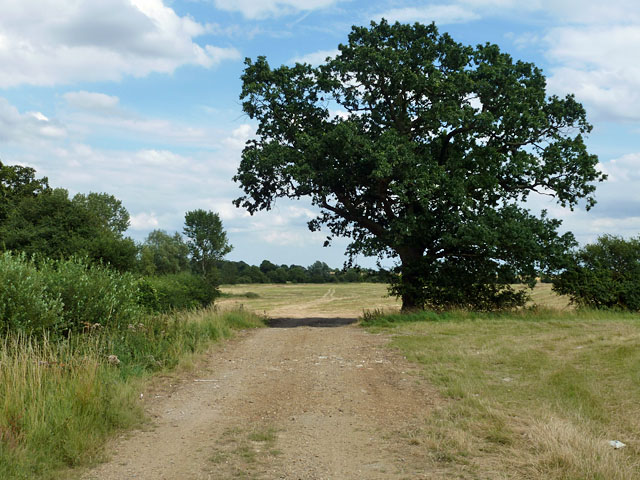 Oak by the bridleway