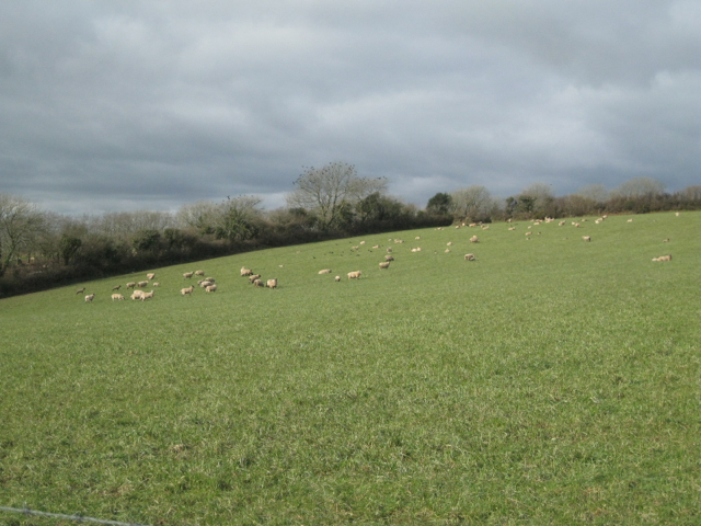Field of sheep northeast of Capton
