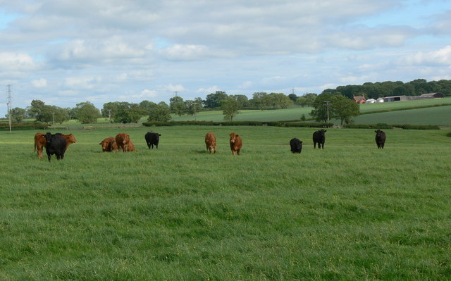Herd of cows along the Leicestershire Round Footpath