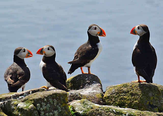 Puffins at the south end of the Isle of May