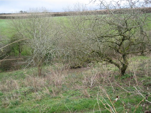 Derelict orchard above Little Coombe Plantation