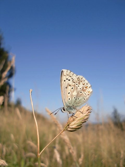 Blue butterfly at Ranmore (1)