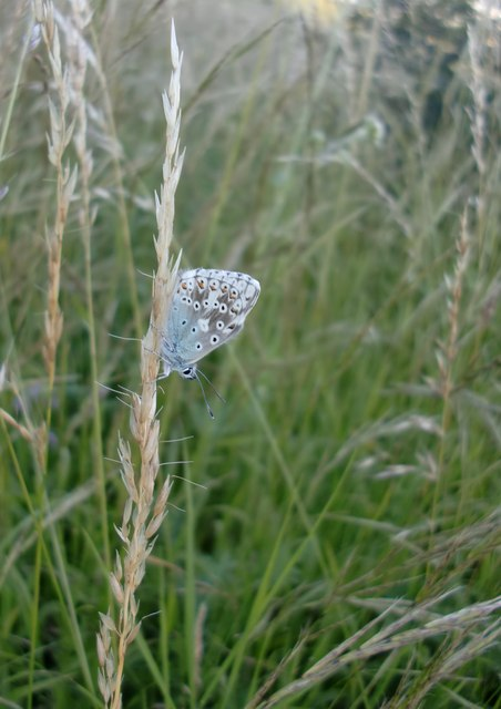 Blue butterfly at Ranmore (2)