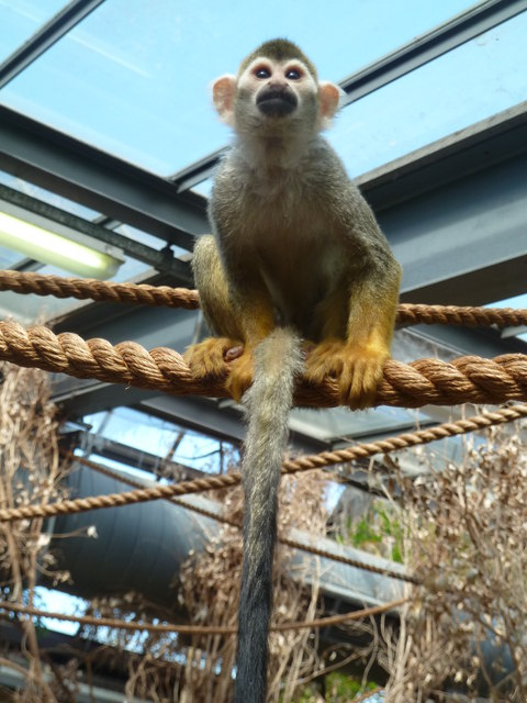Dudley Zoological Gardens - Squirrel monkey