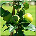 SU1084 : Apples, the Walled Garden, Lydiard House and Park, Lydiard Tregoze by Brian Robert Marshall