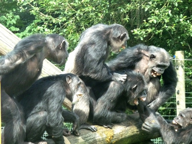 Dudley Zoo - chimp fight