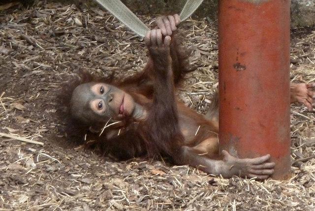 Dudley Zoo - baby orang utan