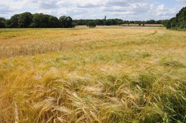 Field of barley near Branson's Cross