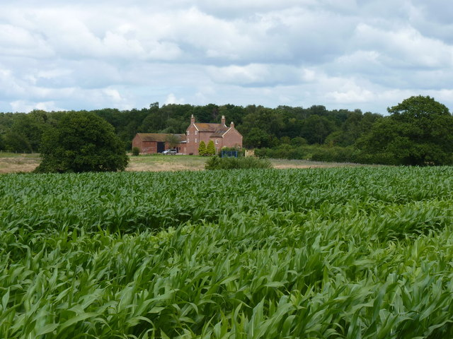 Sweetcorn crop in fields south of Lindore Farm