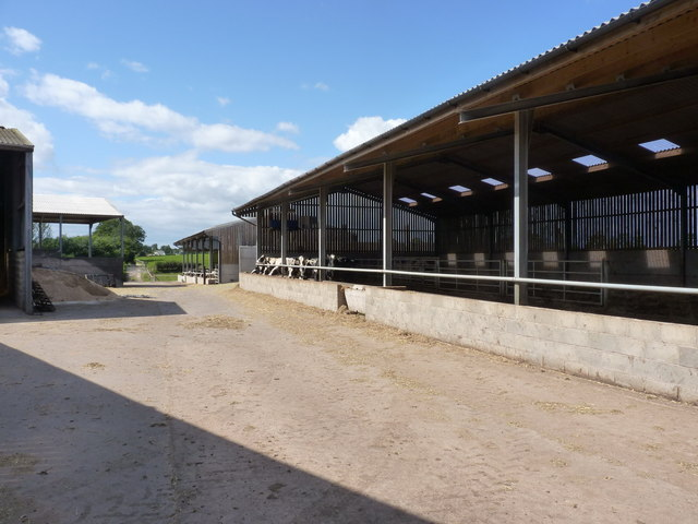 Young cattle at Walton Grange