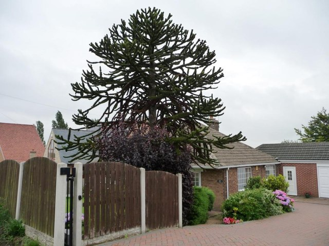 Monkey puzzle tree, South Kirkby Common