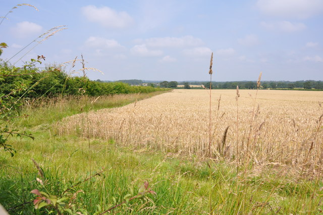 Looking over a field of corn near Whitley Bank
