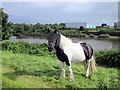 SJ3865 : Pony by the River Dee by Jeff Buck