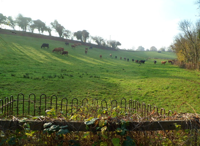 Cattle grazing on sloping ground, Newent