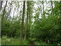 SK9010 : Poplars at Burley Bushes by Dave Spicer