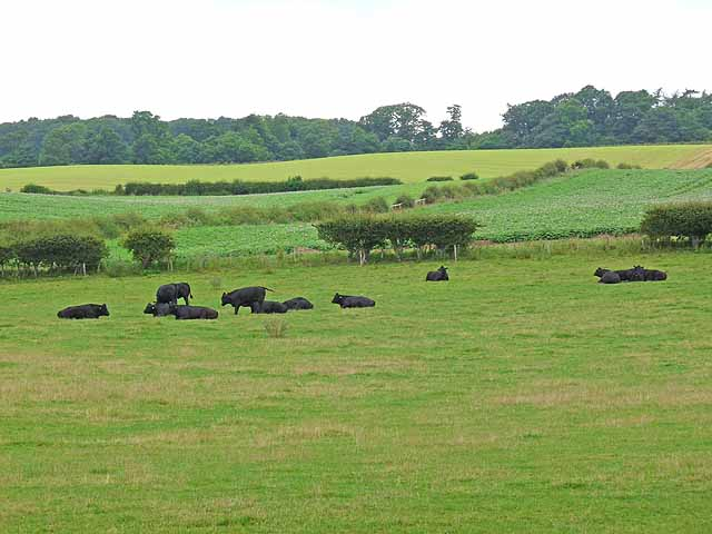 Bullocks at Eat Nesbit