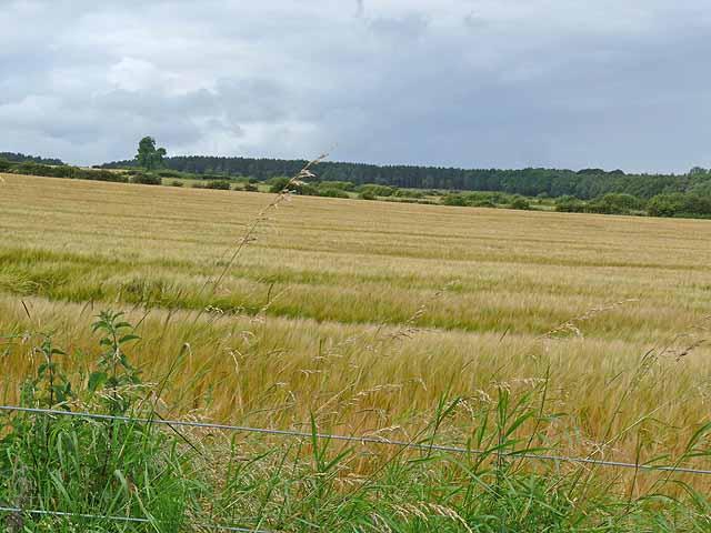 Barley field near Crailing