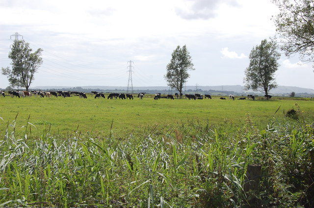 Grazing Cows on the Levels, near Wartling