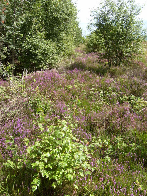 Heather in flower at High Muffles