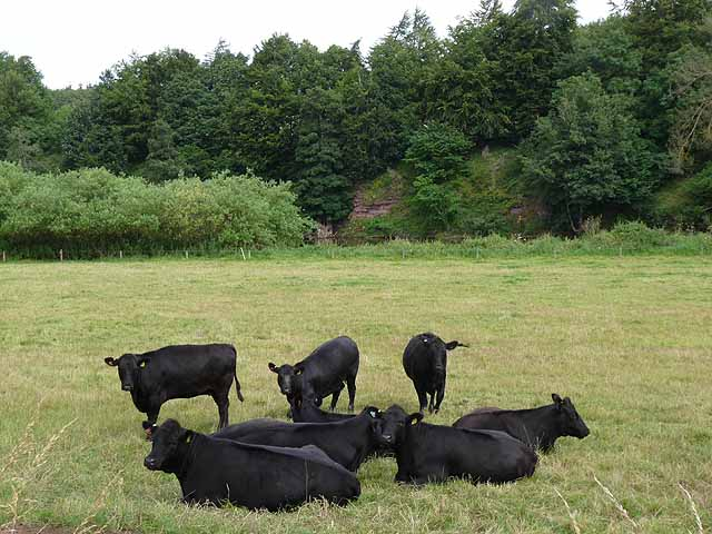 Bullocks by the River Teviot