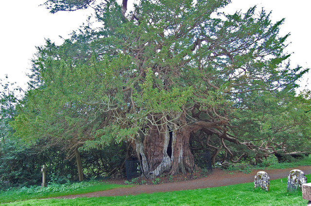 Ancient Yew in Crowhurst Churchyard