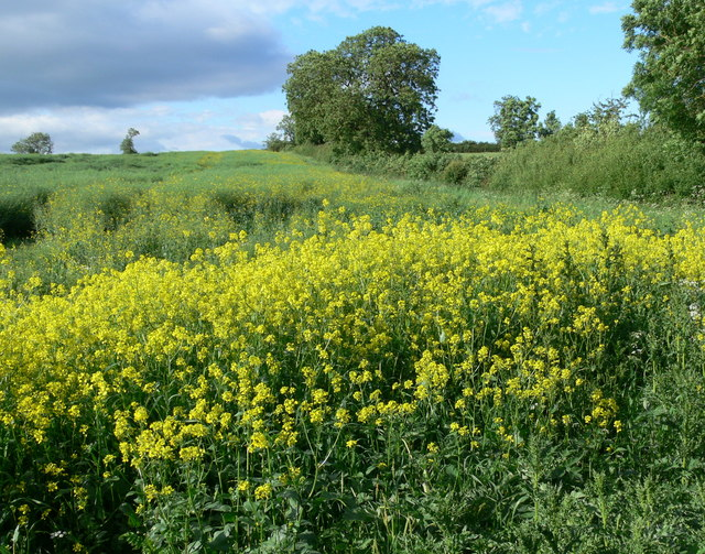 Oil seed rape crop near Harborough Farm