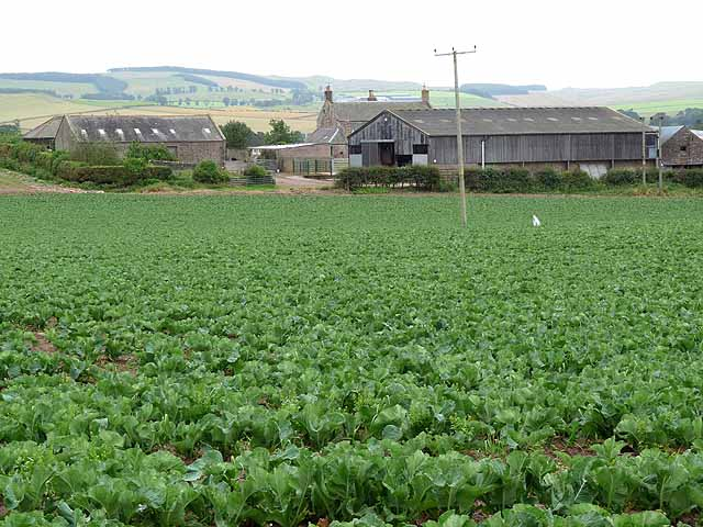 Cabbage field at Crookhouse Farm